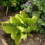 Hosta «Gold Drop»